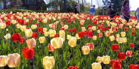 Ottawa-tulipes